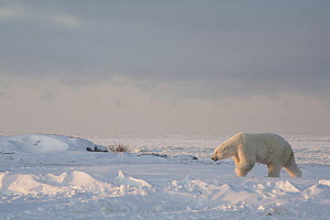Polar Bear (Ursus maritimus) male at edge of sea ice, Churchill, Manitoba, Canada  -  Matthias Breiter