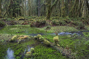 Kestner Creek, Quinault Rainforest, Olympic National Forest, Washington  -  Matthias Breiter