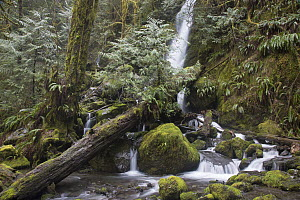 Waterfall and creek in temperate rainforest, Merriman Falls, Olympic National Park, Washington  -  Matthias Breiter
