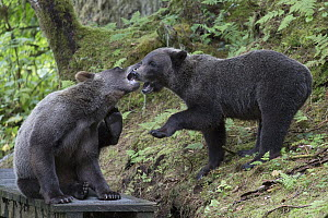 Grizzly Bear (Ursus arctos horribilis) yearling cubs playing in temperate rainforest, Tongass National Forest, Alaska - Matthias Breiter
