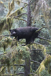 Black Bear (Ursus americanus) sleeping in tree in temperate rainforest, Anan Creek, Tongass National Forest, Alaska  -  Matthias Breiter