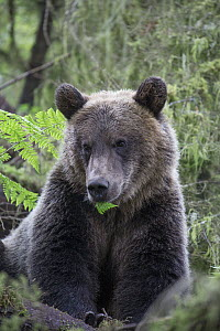 Grizzly Bear (Ursus arctos horribilis) yearling cub in temperate rainforest, Tongass National Forest, Alaska  -  Matthias Breiter