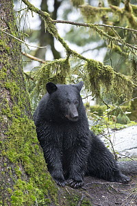 Black Bear (Ursus americanus) in temperate rainforest, Tongass National Forest, Alaska - Matthias Breiter