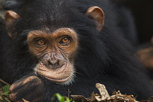 Eastern Chimpanzee (Pan troglodytes schweinfurthii) juvenile male, five years old, Gombe National Park, Tanzania - Anup Shah