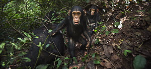 Eastern Chimpanzee (Pan troglodytes schweinfurthii) baby males, three years old, playing while their mothers fish for termites, Gombe National Park, Tanzania - Anup Shah