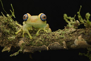 Mantellid Frog (Boophis sp), Andasibe, Madagascar  -  Chien Lee