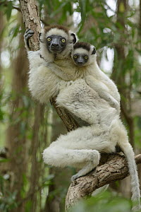 Verreaux's Sifaka (Propithecus verreauxi) mother and young, Berenty Private Reserve, Madagascar - Chien Lee