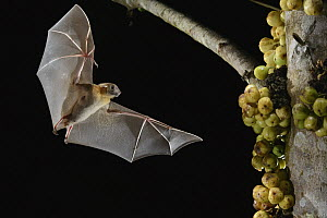 Lesser Short-nosed Fruit Bat (Cynopterus brachyotis) approaching figs to feed on, Kuching, Sarawak, Borneo, Malaysia  -  Chien Lee