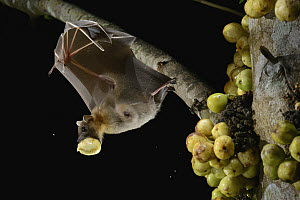 Lesser Short-nosed Fruit Bat (Cynopterus brachyotis) carrying fig, Kuching, Sarawak, Borneo, Malaysia - Chien Lee