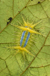 Cup Moth (Limacodidae) caterpillar showing stinging bristles and a bright aposematic warning coloration, Mulu National Park, Sarawak, Borneo, Malaysia  -  Chien Lee