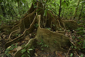 Buttress roots on rainforest tree, Mulu National Park, Sarawak, Borneo, Malaysia  -  Chien Lee