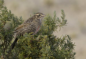 Long-tailed Meadowlark (Sturnella loyca) female, Argentina  -  Nate Chappell/ BIA