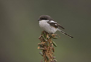 Common Fiscal (Lanius collaris), Eastern Cape, South Africa - Nate Chappell/ BIA