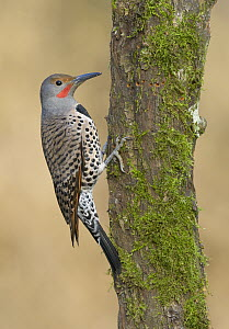 Northern Flicker (Colaptes auratus) male, British Columbia, Canada  -  Tim Zurowski/ BIA