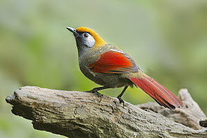 Red-tailed Laughingthrush (Garrulax milnei), Yunnan, China  -  Eric Sohn Joo Tan/ BIA