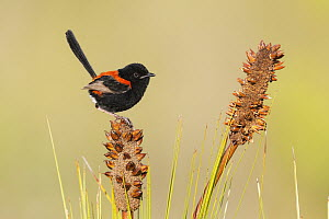 Red-backed Fairywren (Malurus melanocephalus) male, Queensland, Australia  -  Jan Wegener/ BIA