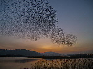 Common Starling (Sturnus vulgaris) flock flying over lake, Wales, United Kingdom  -  David Williams/ BIA