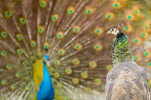 Indian Peafowl (Pavo cristatus) female watching male performing courtship display, Castilla Leon, Spain - Brais Seara Fernandez/ BIA