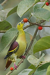 Ashy-headed Green Pigeon (Treron phayrei) feeding on fruit, Darjeeling, India  -  Biraj Sarkar/ BIA