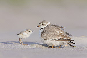 Piping Plover (Charadrius melodus) with chick, Massachusetts - Michael Milicia/ BIA