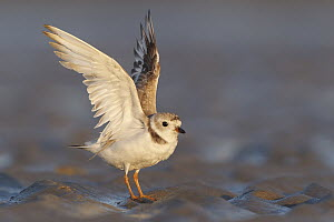 Piping Plover (Charadrius melodus) stretching, Massachusetts  -  Michael Milicia/ BIA