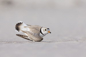 Piping Plover (Charadrius melodus) in broken wing display, Massachusetts - Michael Milicia/ BIA