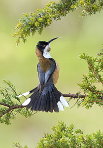 Eastern Spinebill (Acanthorhynchus tenuirostris) in defensive posture, New South Wales, Australia  -  Greg Oakley/ BIA