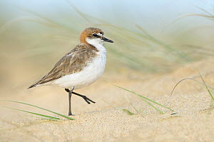 Red-capped Plover (Charadrius ruficapillus) on beach, New South Wales, Australia  -  Greg Oakley/ BIA