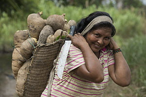 Cassava (Manihot esculenta) roots being carried by Wai-wai woman, Guyana  -  Pete Oxford