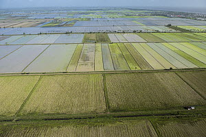 Rice (Oryza sp) fields, Guyana - Pete Oxford