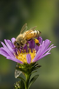Honey Bee (Apis mellifera) with pollen baskets, Oregon  -  Michael Durham