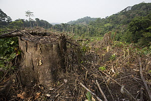 Rainforest clear cut for oil palm plantation, Cameroon  -  Cyril Ruoso