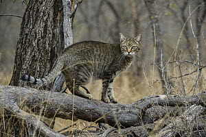 African Wild Cat (Felis lybica), semi-domesticated individual, Limpopo, South Africa  -  Pete Oxford
