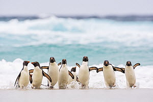 Rockhopper Penguin (Eudyptes chrysocome) group coming ashore, Falkland Islands  -  Heike Odermatt