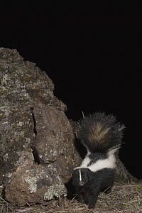 Striped Skunk (Mephitis mephitis) walking at night, Modini Mayacamas Preserve, Mayacamas Mountains, Inner Coast Ranges, California - Sebastian Kennerknecht