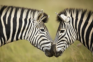 Burchell's Zebra (Equus burchellii) pair nuzzling, Rietvlei Nature Reserve, South Africa  -  Richard Du Toit