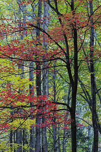 Red Maple (Acer rubrum) in fall, Great Smoky Mountains National Park, Tennessee  -  Jeff Foott