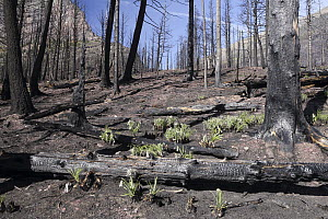 Bear Grass (Xerophyllum tenax) roots re-growing two months after fire, Glacier National Park, Montana  -  Sumio Harada