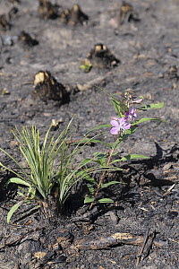 Fireweed (Chamerion angustifolium) and Bear Grass (Xerophyllum tenax) two months after fire, Glacier National Park, Montana  -  Sumio Harada