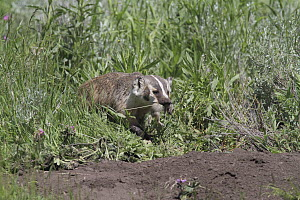 American Badger (Taxidea taxus) female with Uinta Ground Squirrel (Spermophilus armatus), Yellowstone National Park, Wyoming  -  Sumio Harada