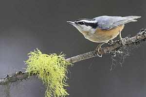 Red-breasted Nuthatch (Sitta canadensis), Montana  -  Sumio Harada