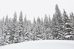 Coniferous trees in boreal forest, winter, Glacier National Park, Montana  -  Sumio Harada