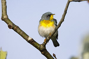 Northern Parula (Setophaga americana) male, Maine  -  Scott Leslie