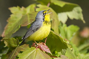 Canada Warbler (Cardellina canadensis) male calling, Maine  -  Scott Leslie