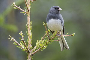 Dark-eyed Junco (Junco hyemalis), Maine  -  Scott Leslie
