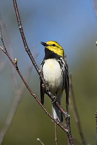 Black-throated Green Warbler (Setophaga virens) calling, Maine  -  Scott Leslie