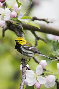 Black-throated Green Warbler (Setophaga virens), New Hampshire  -  Scott Leslie