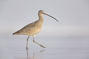 Long-billed Curlew (Numenius americanus) walking on beach, California  -  Michael Milicia/ BIA