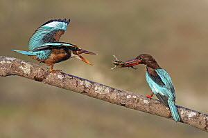 White-throated Kingfisher (Halcyon smyrnensis) parent feeding fledgling, Malaysia - Graeme Guy/ BIA
