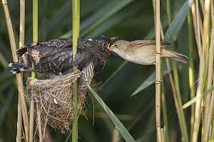 Eurasian Reed-Warbler (Acrocephalus scirpaceus) feeding parasitic Common Cuckoo (Cuculus canorus) chick in nest, Saxony-Anhalt, Germany  -  Oliver Richter/ BIA